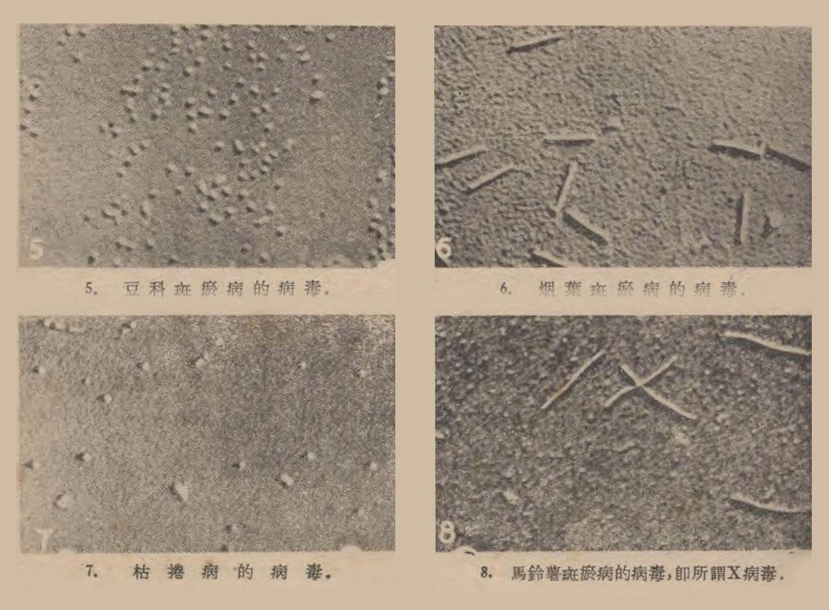 再談濾過性病毒:6.煙葉斑瘀病的病毒:[照片] 《科學畫報》1949 年第 15 卷 第 11 期,384 頁